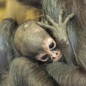ママにしがみつくおさるの赤ちゃん♡